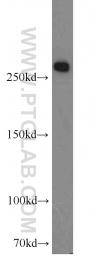 10624-2-AP - Fatty acid synthase