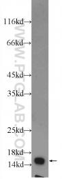 10956-1-AP - FIS1 / TTC11