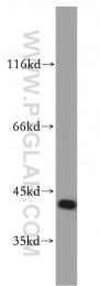 10060-1-AP - FKBPL