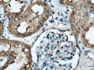 21959-1-AP - 58K Golgi Protein