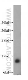 14147-1-AP - Frataxin (FXN)