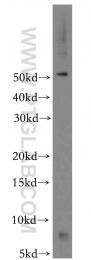 11198-1-AP - FXYD2