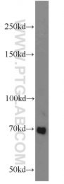 55093-1-AP - FZD8 / Frizzled-8