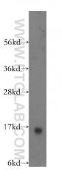 11858-1-AP - Galectin-1