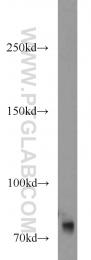 11054-1-AP - MCM3AP