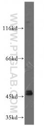 19530-1-AP - GATA4