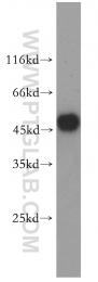 17951-1-AP - Glycine receptor alpha-1