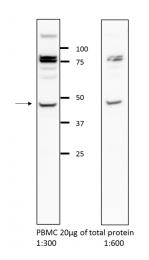 13831-1-AP - Glycine receptor alpha-2