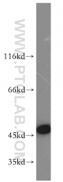 14886-1-AP - GOT1