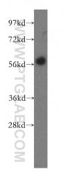 12377-1-AP - EBI2 / GPR183