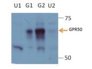 21514-1-AP - GPR50