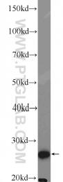 15063-1-AP - GSTT2