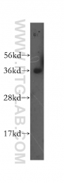15874-1-AP - CD235a / GYPA