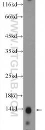 16441-1-AP - Histone H2A.Z