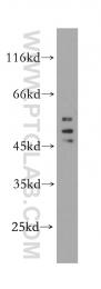10255-1-AP - HDAC3