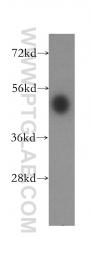 16164-1-AP - HDAC3