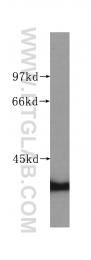 60064-1-Ig - HDGF
