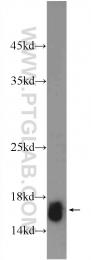 15302-1-AP - Histone H2A type 2-A