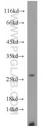 10829-1-AP - HMGB1