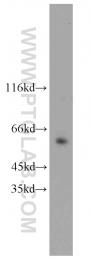 12533-1-AP - HNF1 beta / TCF2