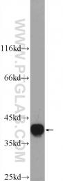 25142-1-AP - hnRNP-A3 / HNRNPA3