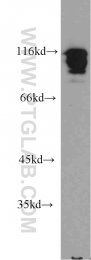 10578-1-AP - HNRNPUL1 / E1BAP5