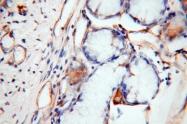 13413-1-AP - Histamine H1 receptor