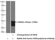 15132-1-AP - HSCB / DNAJC20 / HSC20