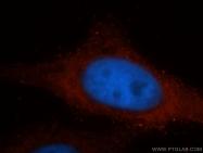 60012-1-Ig - Endoplasmin / HSP90B1 / TRA1