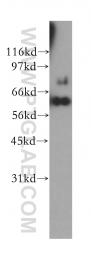 12667-2-AP - HSPA13 / STCH