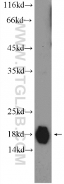 16813-1-AP - Heat shock protein beta-6 / HSPB6