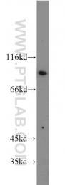 10831-1-AP - CD54 / ICAM1