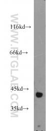 15909-1-AP - Isocitric dehydrogenase alpha / IDH3A