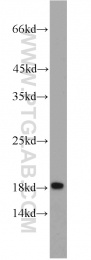 11727-3-AP - CD225 / IFITM1