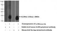 10844-1-AP - IL1RN /  IL1RA