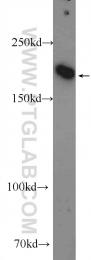 25930-1-AP - IQGAP3