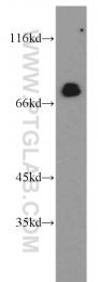 13698-1-AP - IRF2BP1