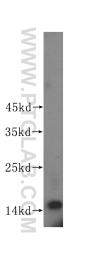 15981-1-AP - ISG15 / G1P2