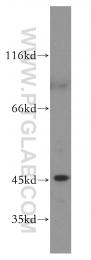51151-1-AP - MAPK8 / JNK1