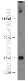 15505-1-AP - KISS1R / GPR54