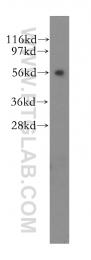 11645-1-AP - Kinesin light chain 3