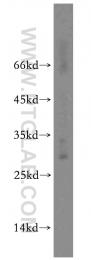 13332-1-AP - CD94