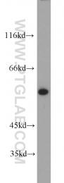 10819-1-AP - KPNA2 / Importin alpha-2