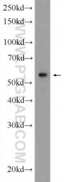 12463-1-AP - KPNA4 / Importin alpha-4