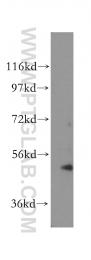 17515-1-AP - Cytokeratin 13