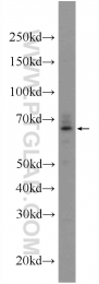 24409-1-AP - POGLUT1 / KTELC1