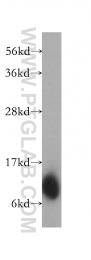 10465-1-AP - Laminin alpha 4