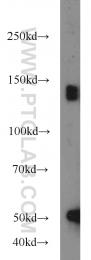 10785-1-AP - LDLR
