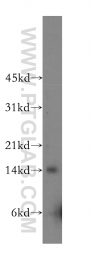 12849-2-AP - Galectin-2