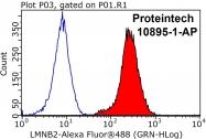 10895-1-AP - Lamin-B2 (LMNB2)